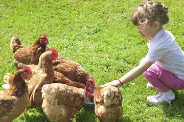 Budding Young Farmers feeding the chickens