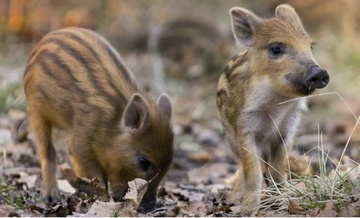 See if you can spot a wild boar or two in the forest around us  ...